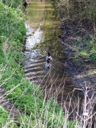 Two mallard ducks on Chaloners Whin