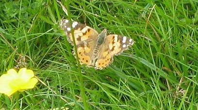butterflies - painted lady