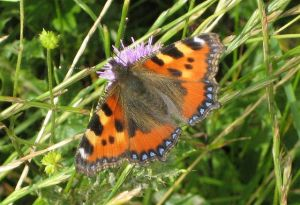 Butterflies - Small Tortoiseshell