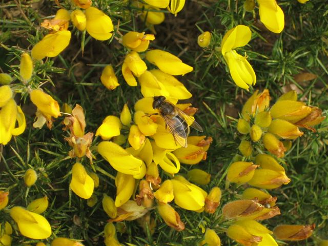 Flowers - Gorse