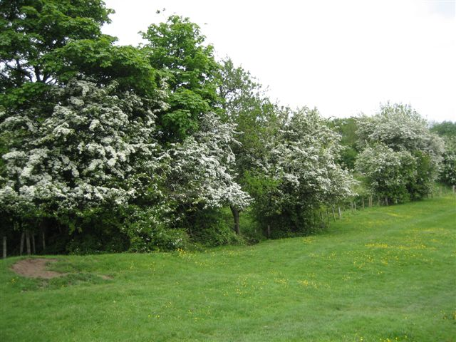 A hawthorn hedge in the north eastern corner, near the Triangle