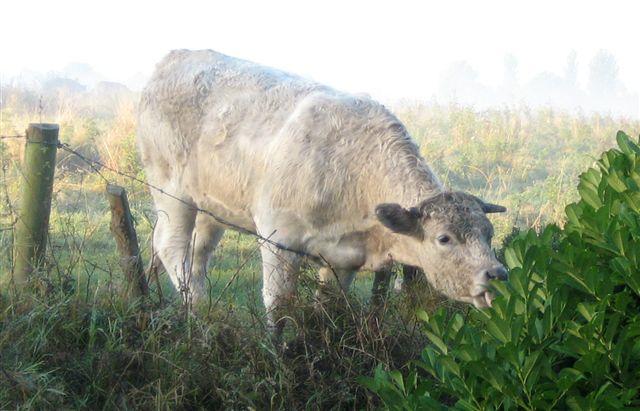 News - cow2