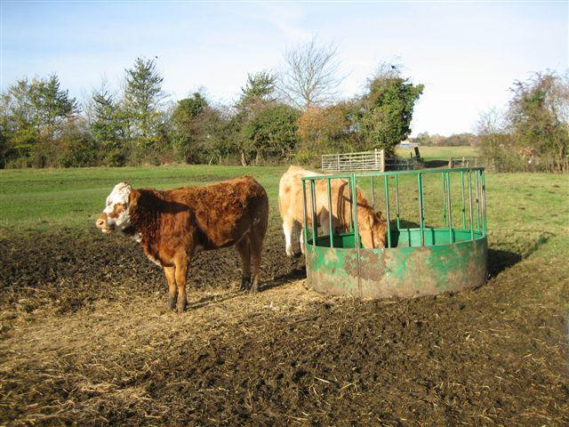 News - Cows 009