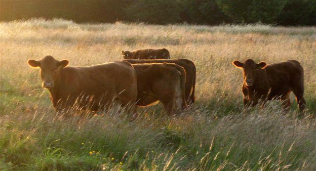 News - cows 2009