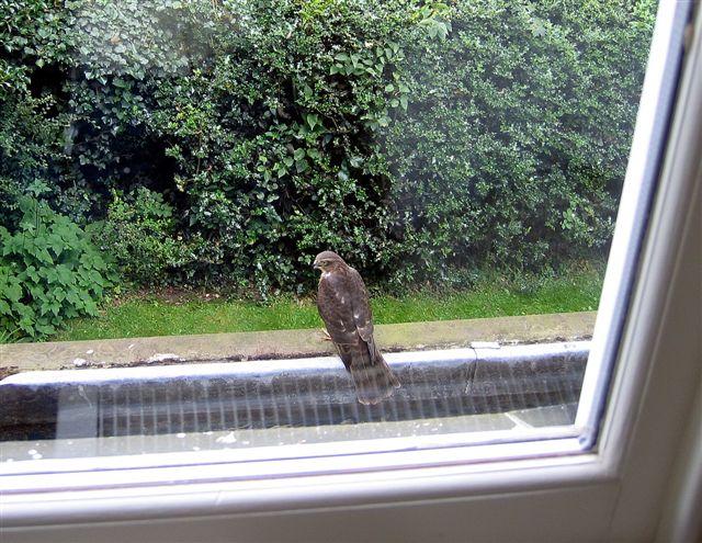 News - sparrowhawk