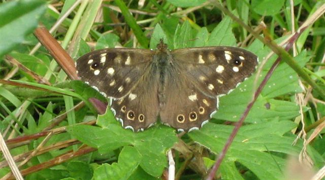 News - Speckled Wood