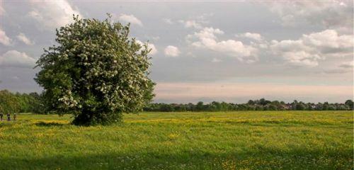 Trees - hawthorne
