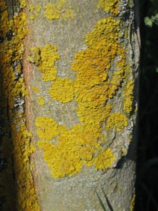 Xanthoria Lichen on Maple