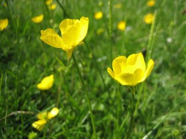 Flowers - Bulbous Buttercup